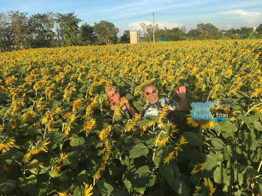 Lost in the yellow field! Our Bangkok taxi and tour service takes the lovely guests to the lovely Lopburi Sunflower field.